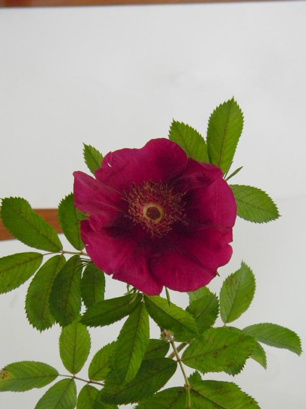 Basye's Purple Rose B 9.JPG