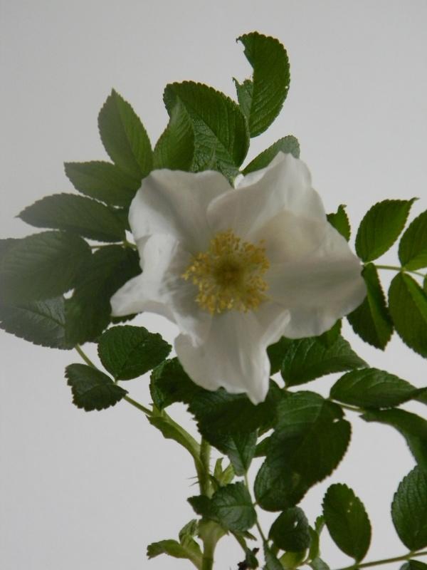 R. rugosa alba B 6.JPG