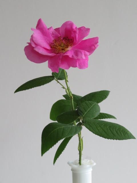 Apothecary Rose A.jpg