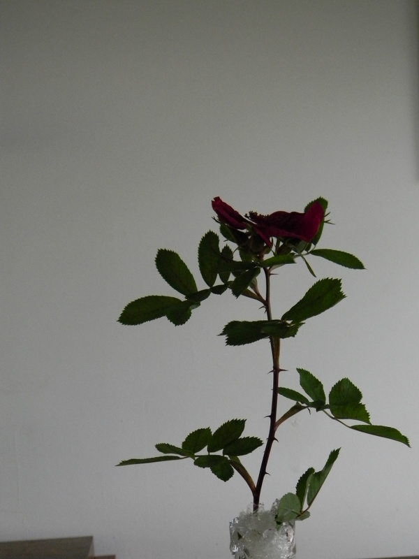 Basye's Purple Rose A 9.JPG