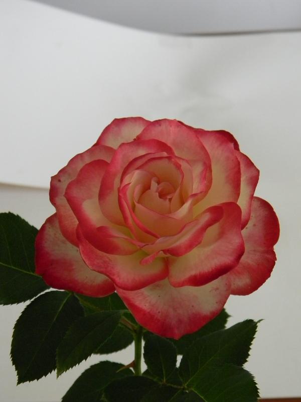 Cherry Parfait B 1.JPG