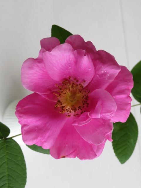 Apothecary Rose B.jpg