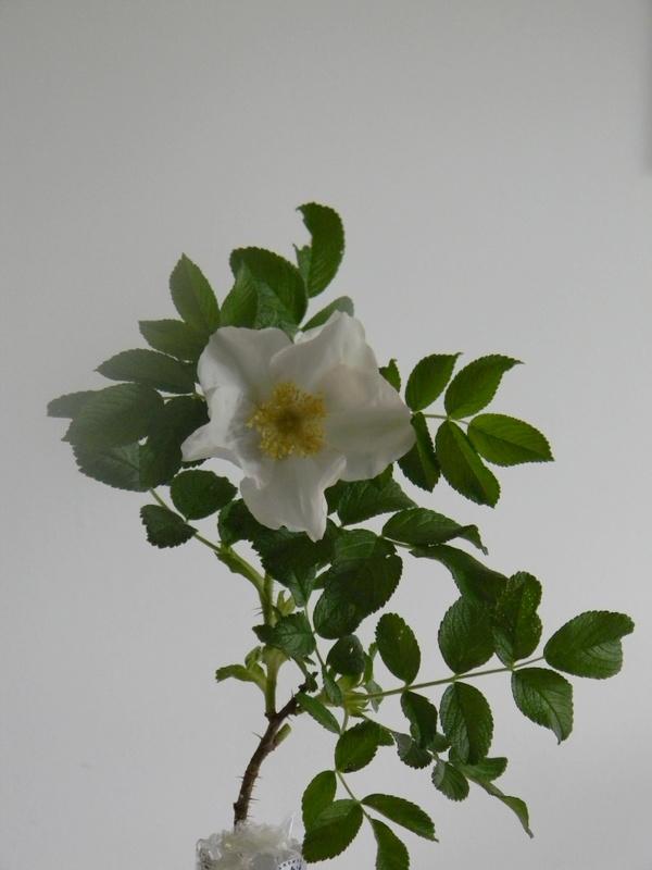 R. rugosa alba A 6.JPG