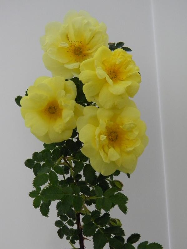 Harison's Yellow B 10.JPG