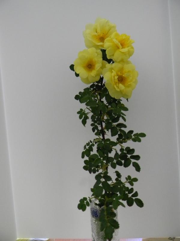 Harison's Yellow A 10.JPG