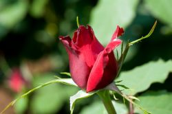 NY_Botanical_Garden_Red_Rose_Bud_0155.jpg